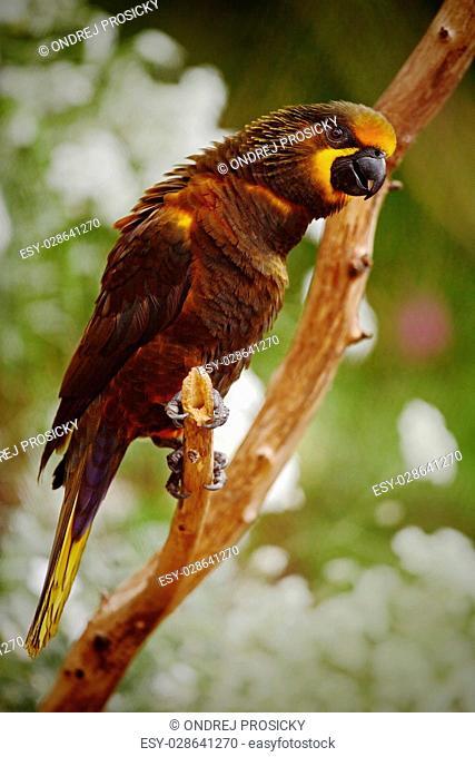 Parrot Brown Lory, Chalcopsitta duivenbodei, West Papua, Indones