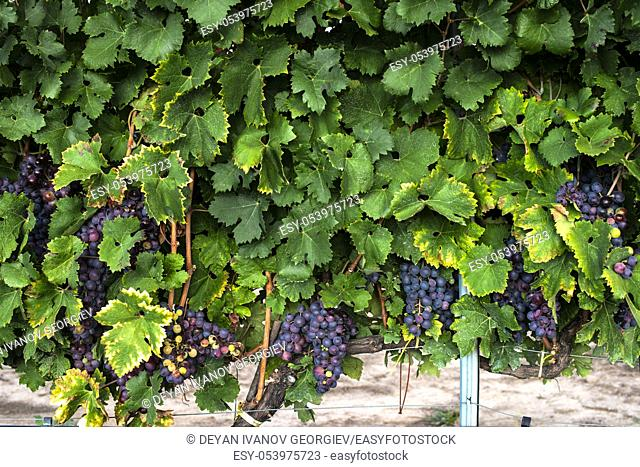 Red grape background. Grape pattern with leaves and grapes
