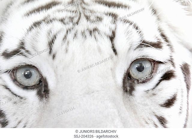White Bengal Tiger (Panthera tigris). Close-up of eyes. Stukenbrock Safari Park, Germany