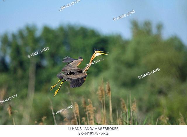 Purple Heron (Ardea purpurea) approaching nest, Wagbachniederung, Karlsruhe, Baden-Württemberg, Germany
