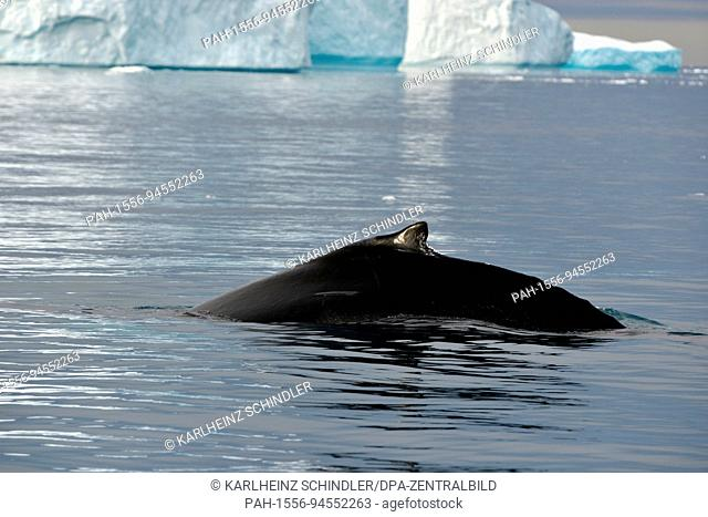 A humpback whale (middle section with back fins) swims between icebergs floating in the fjord near Ilulissat on the west coast of Greenland