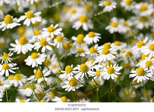 scented mayweed, german chamomile, german mayweed Matricaria chamomilla, Matricaria recutita, Chamomile blooms