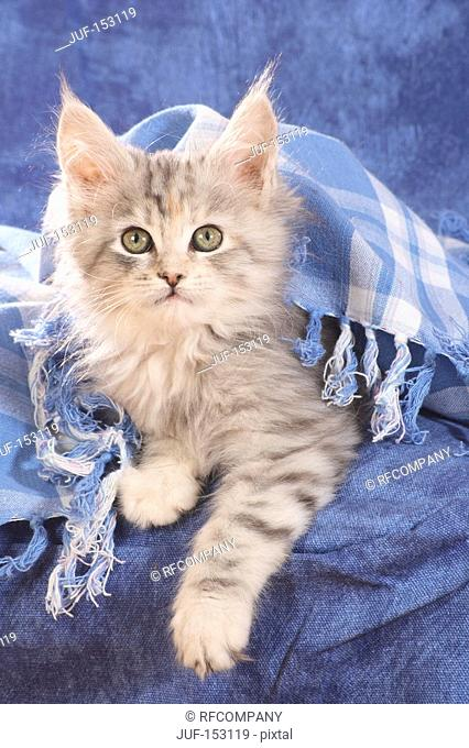 Maine Coon cat - kitten lying under scarf