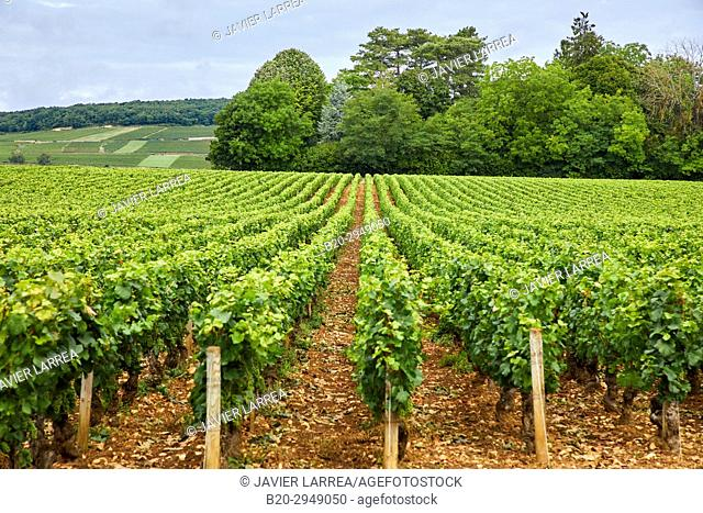 Pinot noir vineyards, Aloxe-Corton, Côte de Beaune, Côte d'Or, Burgundy Region, Bourgogne, France, Europe