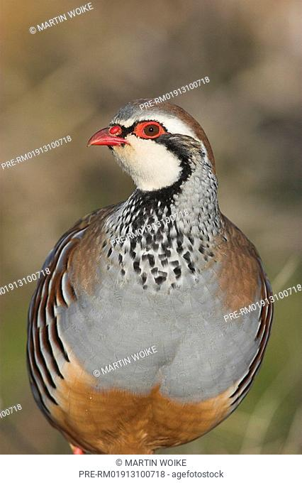 Red-legged Partridge, , Alectoris rufa