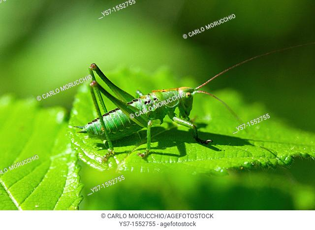 Grasshopper camouflaging on a leaf, Padua hills, Italy, Europe