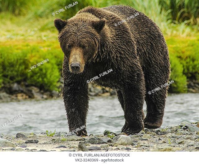 Female Grizzly Walking Along Stream Katmai National Park Alaska