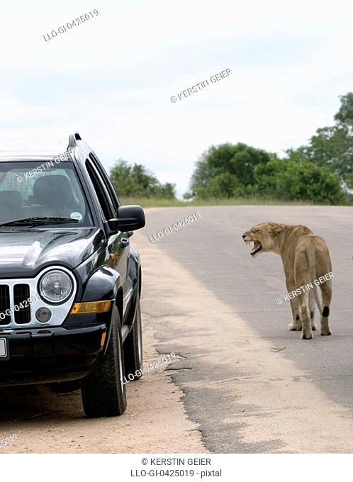 A lioness (panthera leo) snarls at a car. Kruger National Park, South Africa