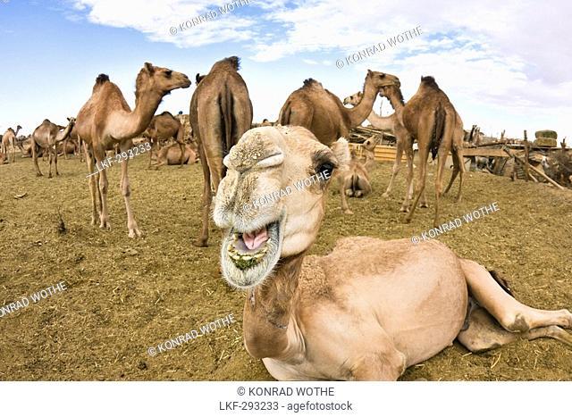 Dromedaries on Camel Market near Sebha, Camelus dromedarius, Libya, Africa