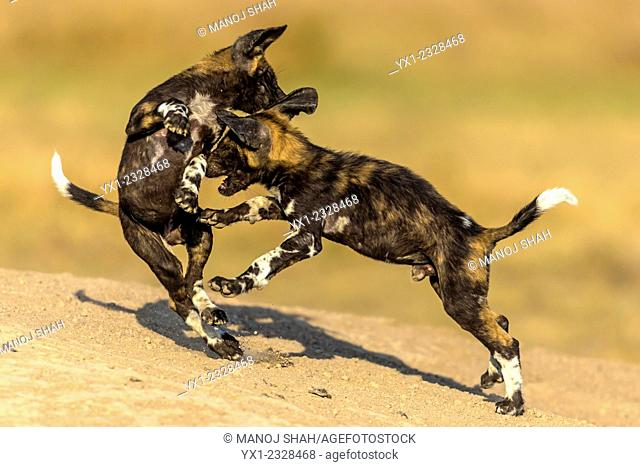 African Wild Dog puppies playing