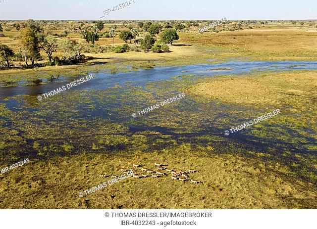 Red Lechwe (Kobus leche leche) herd in the freshwater marshland at the Gomoti River, aerial view, Okavango Delta, Moremi Game Reserve, Botswana