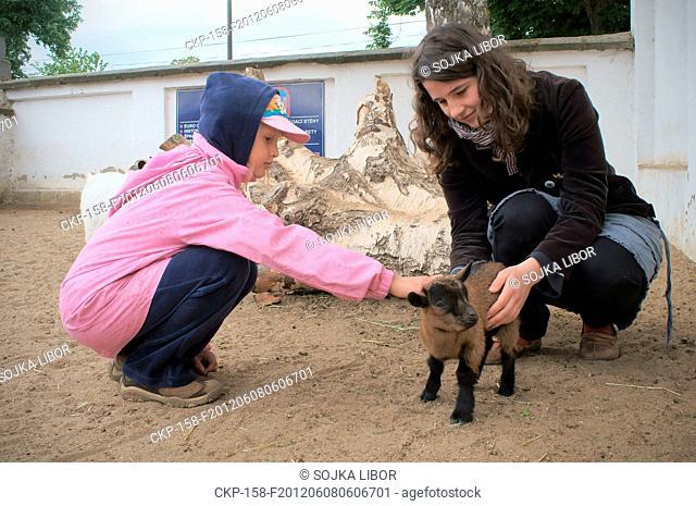 Pygmy Dutch Goat, Capra hircus hircus, Zoo Chleby, Nymburk County, Czech Republic on May 13, 2012 CTK Photo/Libor Sojka