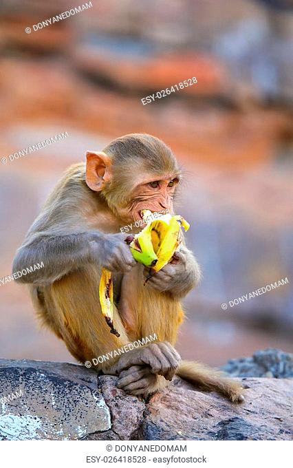 Rhesus macaque (Macaca mulatta) eating banana in Galta Temple in Jaipur, India. The temple is famous for large troop of monkeys who live here