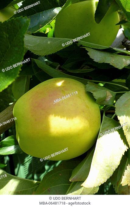 Italy, South Tirol, Vinschgau, Kastelbell, apple cultivation, harvest, Golden Delicious