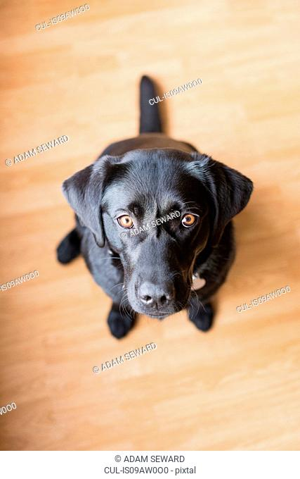 Overhead portrait of black female labrador sitting on floor