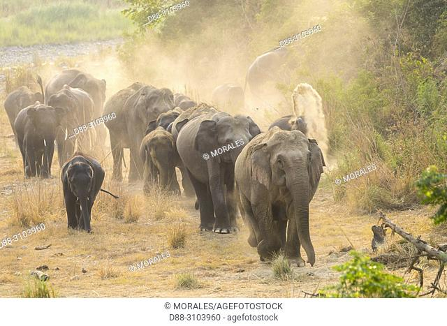 Asia, India, Uttarakhand, Jim Corbett National Park, Asian or Asiatic elephant (Elephas maximus). Dust bath
