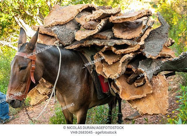 Mule laden with cork. Sierra de San Pedro. San Vicente de Alcantara. Province of Badajoz. Extremadura. Spain
