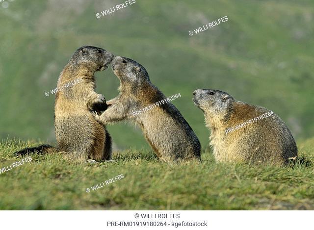 Alpine Marmot, Marmota marmota, Hohe Tauern National Park, Austria / Alpenmurmeltier, Marmota marmota, Nationalpark Hohe Tauern, Österreich