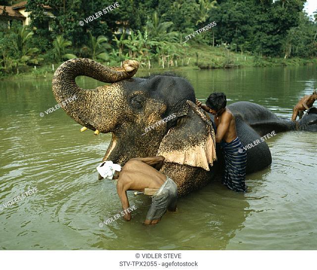 Bathing, Elephant, Holiday, Kandy, Landmark, Orphanage, Pinnawala, Sri lanka, Asia, Tourism, Travel, Vacation