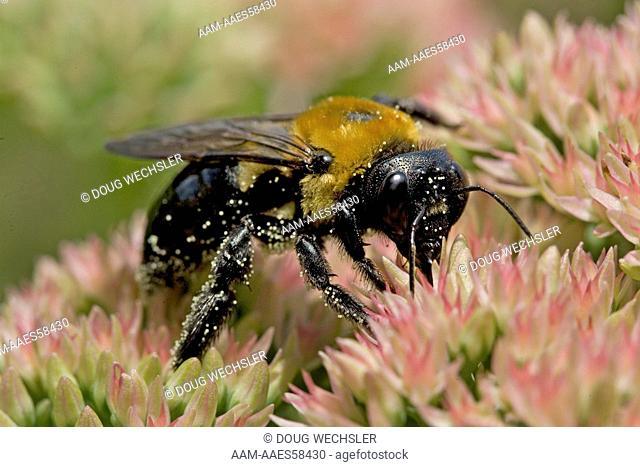 Bumble bee, Backyard; Philadelphia, PA pollen