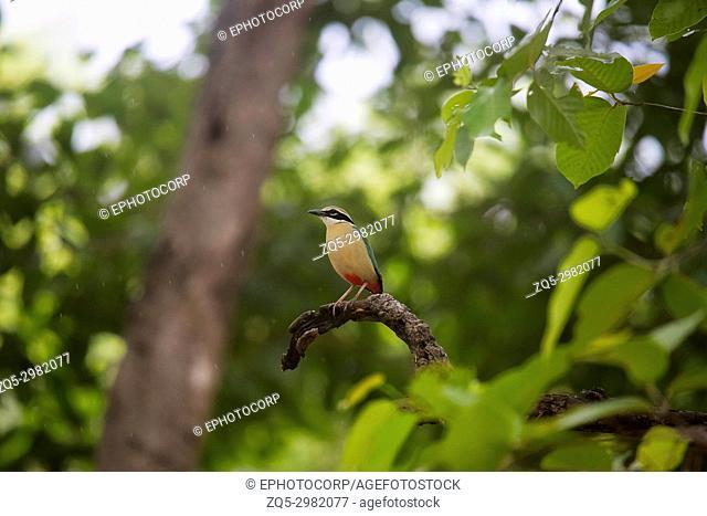 Indian Pitta, Pitta brachyura, Bandhavgarh Tiger Reserve, Madhya Pradesh, India