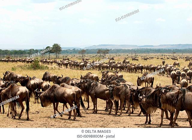Wildebeest (Connochaetes taurinus), Masai Mara, Kenya
