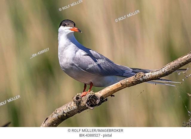 Common Tern (Sterna hirundo) sitting on a branch, Danube Delta, Romania