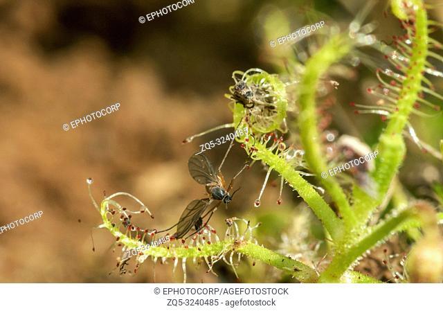 Drossera Indica with kill, flycatcher is an insectivorous plant, Kas Plateau, Satara, Maharashtra, India