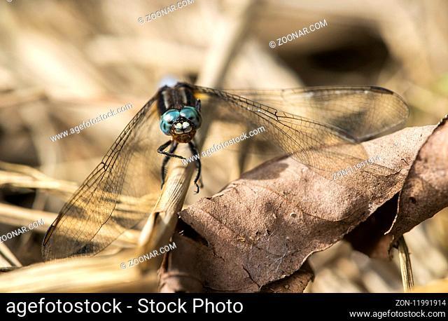 Segellibelle (Orthetrum azureum), (Libellulidae), Anjozorobe Nationalpark, Madagaskar / Skimmer dragonfly (Orthetrum azureum), (Libellulidae)