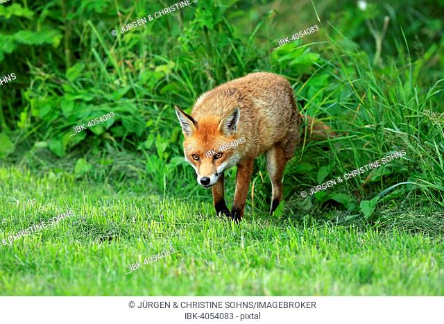 Red Fox (Vulpes vulpes), adult, Surrey, England, United Kingdom