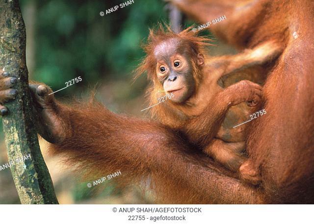 Orang-Utan (Pongo pygmaeus) with young. Gunung Leuser National Park. Indonesia