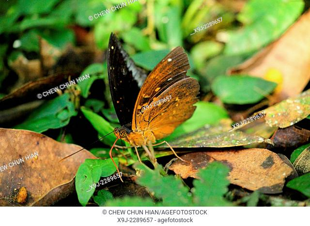 Butterfly of borneo, Archduke, Admirals and Relatives, Borneo