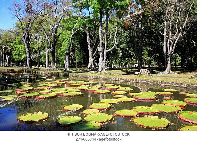 Mauritius, Pamplemousses, Botanical Gardens, Victoria Amazonica giant water lilies