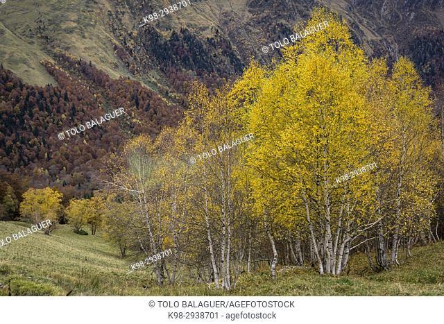 abedules, Artiga de Lin, valle de Aran, lleida, Catalunya, Pyrenees Mountains, Spain