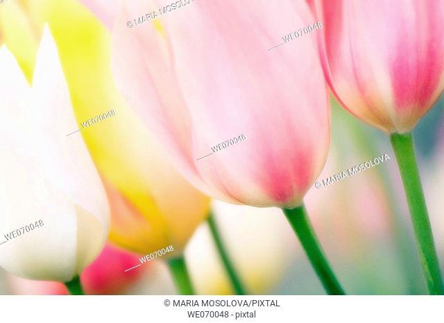 Pastel Tulips. Tulipa hybrid. April 2007, Maryland, USA