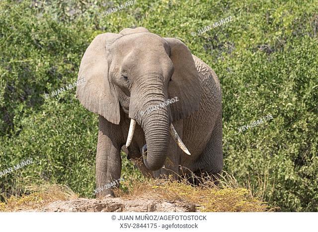 Desert elephant (Loxodonta africana). Hoanib River. Namibia. Africa
