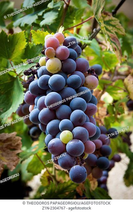 Black grape at Pournaria village. Arcadia, Peloponnese, Greece