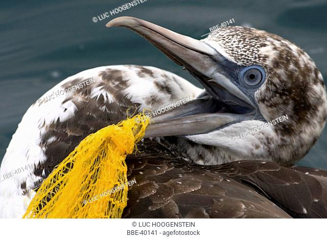 Gannet trapped in a plastic net, which would normally result in a certain death This bird however was saved by the crew of a pelagic trip