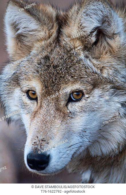 portrait of a wild wolf canis lupis in the Altai Region of Bayan-Ölgii in Western Mongolia