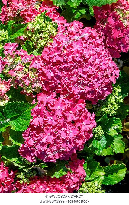 HYDRANGEA 'CURLY SPARKLE RED'