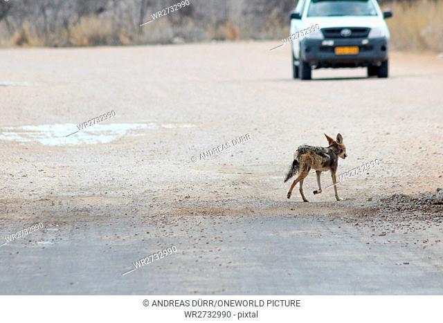 Namibia, Oshikoto, Okaukuejo, Etosha National Park, Shabracks Jackal