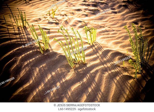 Plant in Natural Park Cabo de Gata-Nijar, Almeria, Spain