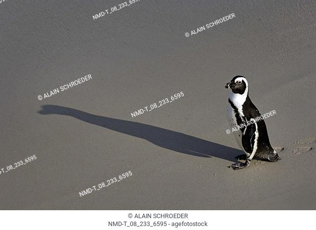 Side profile of a penguin standing on the beach, Boulders Beach, Cape Town, Western Cape Province, South Africa