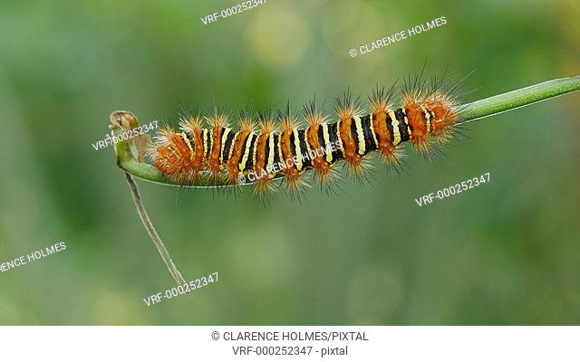 An Echo Moth (Seirarctia echo) Caterpillar feeds on vegetation in Highlands Hammock State Park, Sebring, Florida