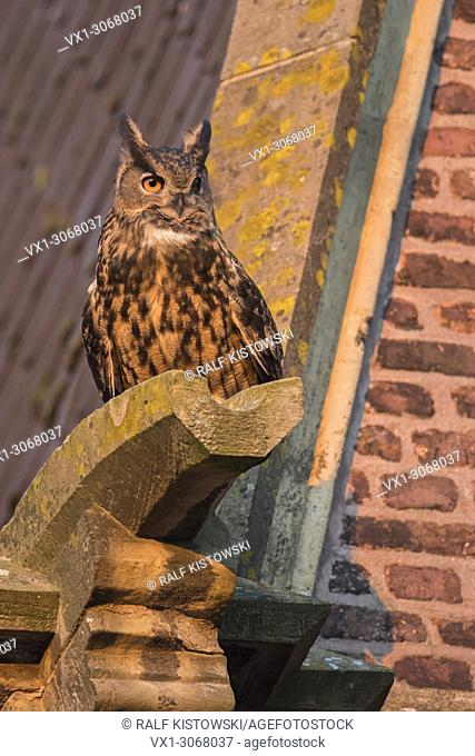 Eurasian Eagle Owl ( Bubo bubo ) adult male, sitting, perched on the sandstone drainpipe of an old church, in urban surrounding, wildlife, Europe