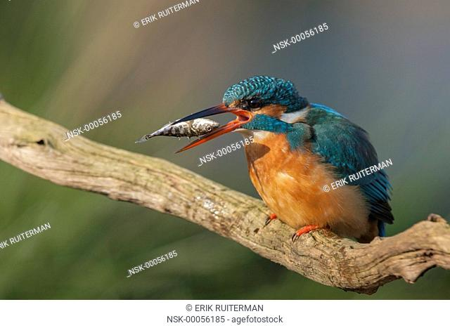 Common Kingfisher (Alcedo atthis) eating a Three-spined Stickleback (Gasterosteus aculeatus) on a dead stick, Belgium, Flanders