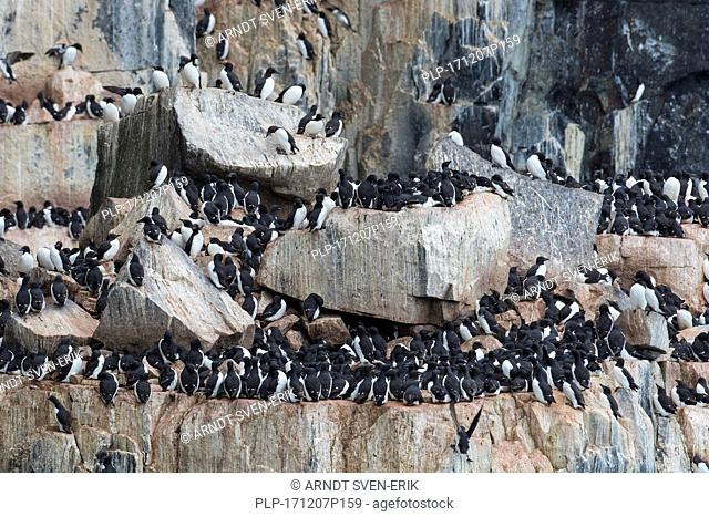 Alkefjellet, sea cliff housing seabird colony of thick-billed murres / Brünnich's guillemots (Uria lomvia) at Hinlopenstretet, Svalbard, Norway