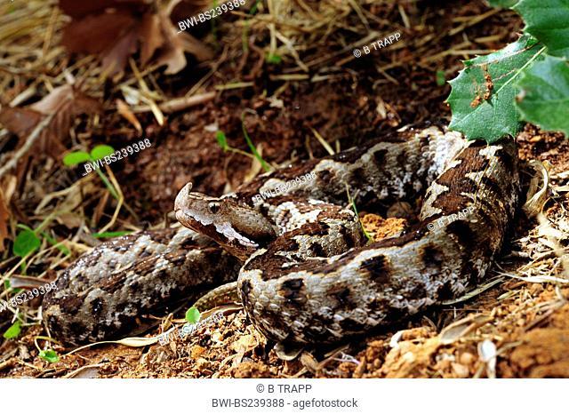 sand viper, nose-horned viper Vipera ammodytes, Vipera ammodytes meridionalis, lying on the ground, Greece, Peloponnes, Messinien