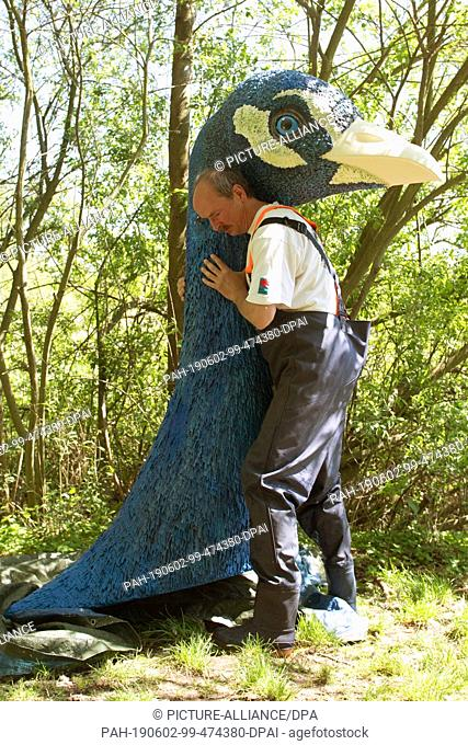 18 May 2019, Saxony, Moritzburg: The gondolier Jens Friebel carries the two meter long neck of a peacock for his gondola on the shore of the Dippelsdorfer Teich