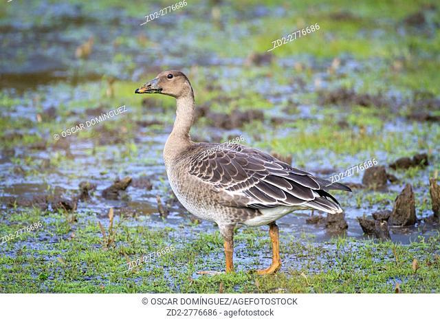 Bean Goose (Anser fabalis fabalis) feeding in habitat. Lower Silesia. Poland